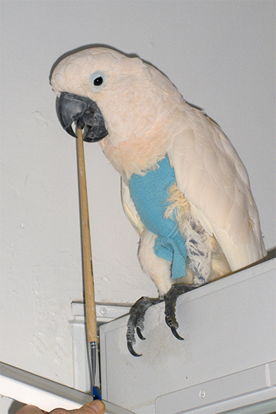 Cowboy, Moluccan Cockatoo, sitting on top of a door, creating an abstract painting using his beak to hold the brush