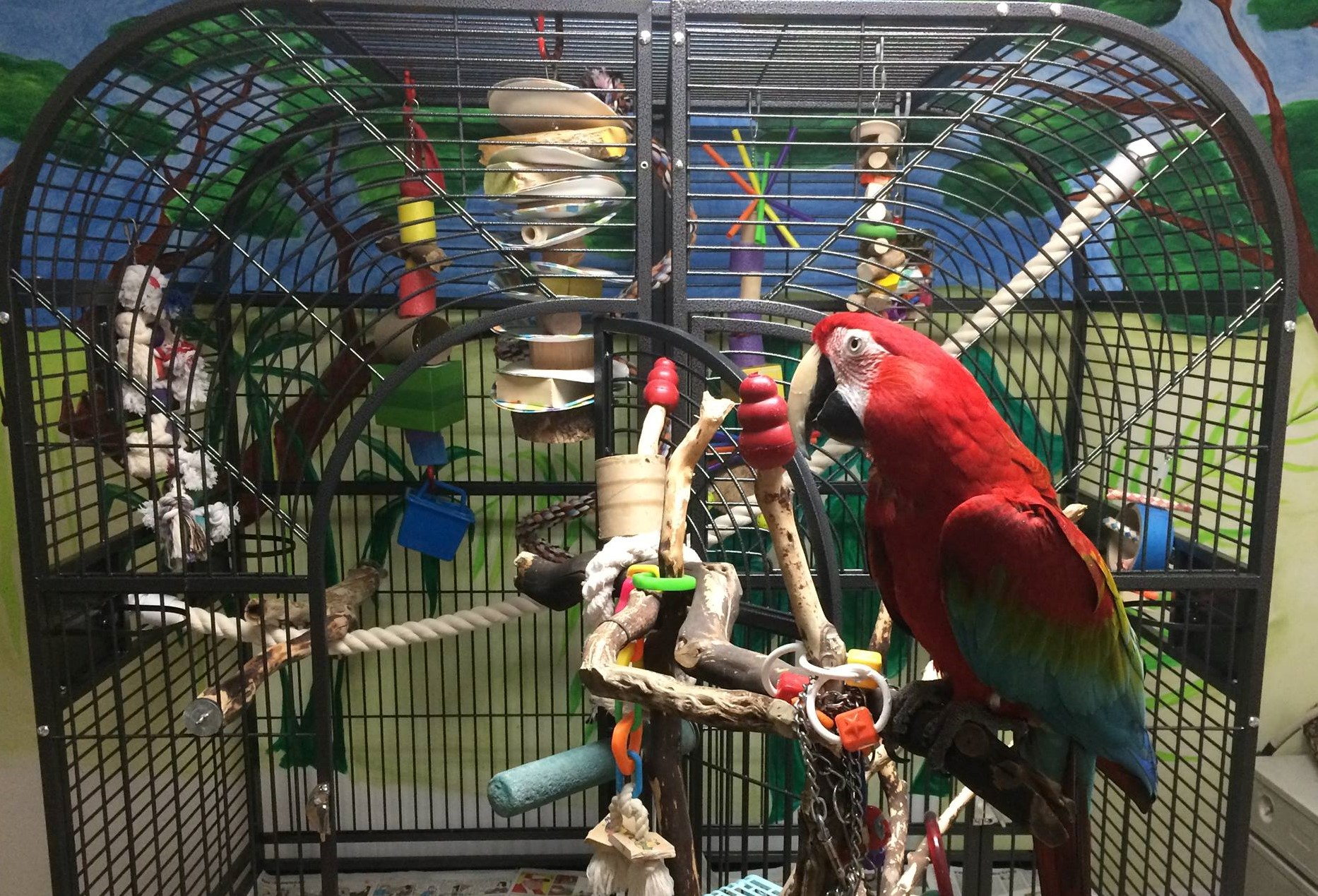 A Green-Winged Macaw on a tree stand in front of a large parrot cage. Apollo was returned to MAARS when his caretaker became ill.