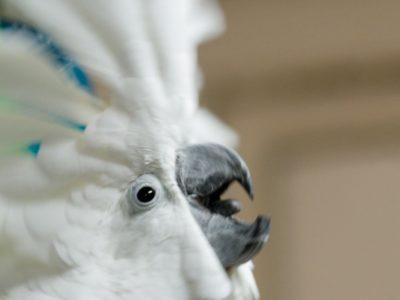 Photo of Bongo Bob, Umbrella Cockatoo