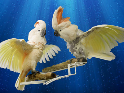 Photo of Harry and Takoja, Moluccan Cockatoos