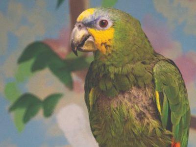 Photo of Pippen, Orange-Winged Amazon