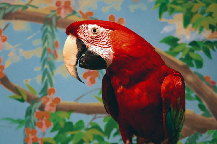 A Green-Winged Macaw parrot sitting on a branch inside with a mural painting of flowers, trees, and sky behind him. Apollo was returned to MAARS when his caretaker became ill.