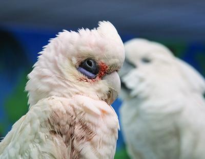 Bogie, Bare-Eyed Cockatoo