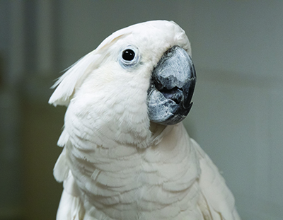 An Umbrella Cockatoo parrot looking slightly above the camera focus. Gus came to MAARS when his caretaker became ill.