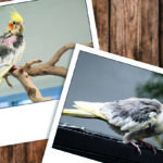 Two Polaroid-type photographs of two cockatiels placed on a wood paneling background. Skeletor and Kojak came to MAARS when their caretaker became ill.