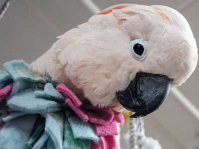 A close-up of a Moluccan Cockatoo's head and chest, with the chest covered by a fleece vest.