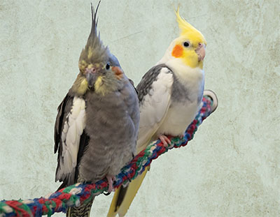 Two cockatiels sitting on a rope perch next to each other