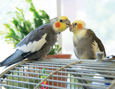 Two cockatiels on top of a cage, one preening the other's head