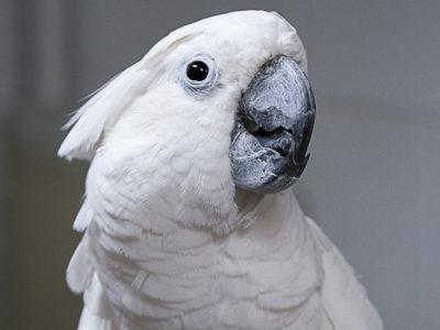 A close-up head-shot of an Umbrella Cockatoo
