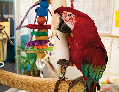 A Green-Winged Macaw on the end of a wood perch next to a large wood toy, looking directly at the camera