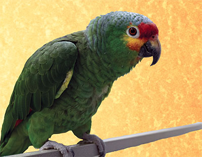 A Red-Lored Amazon perched, looking directly at the camera