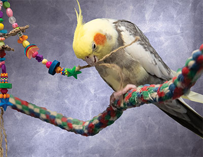 A cockatiel on a rope perch, holding a rope from a bird toy with a foot while chewing on it