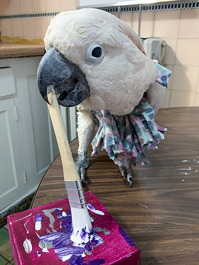Cowboy, Moluccan Cockatoo, creating an abstract painting using his beak to hold the brush
