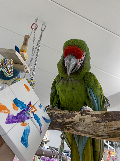 A Military Macaw on a wooden perch next to an acrylic on canvas painting