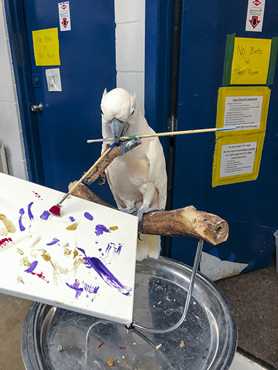 Harry, Moluccan Cockatoo, creating an abstract painting using his beak to hold the brush