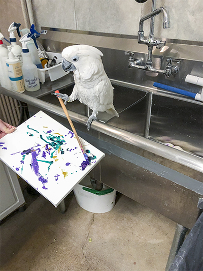 Sputnik, Umbrella Cockatoo, creating an abstract painting using his foot to hold the brush