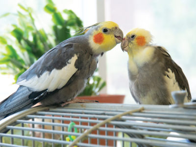 A normal grey cockatiel facing a pied cockatiel and preening his head while sitting on top of a cage in front of a green plant and a window.
