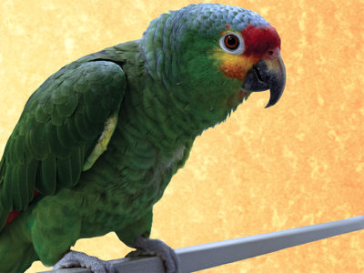 Davey, Red-Lored Amazon, sitting on a perch looking directly at the camera